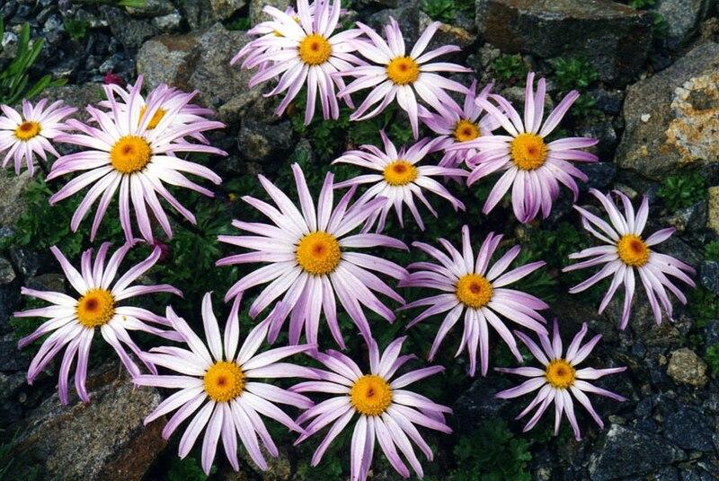Tập tin:Chrysanthemum weyrichii 2.jpg