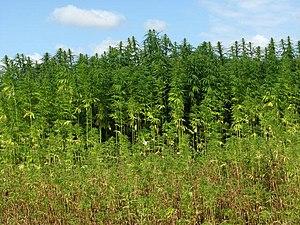 Hemp (Cannabis spec.) - detail - geograph.org....