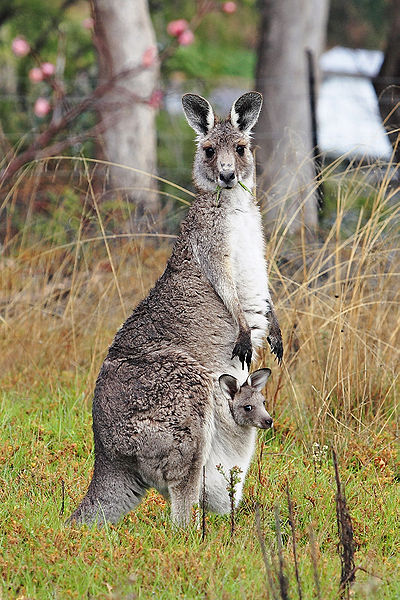 File:Kangaroo and joey03.jpg