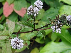 Mentha x piperita: Flowers and leaves.