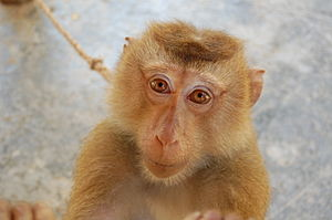 Northern Pig-tailed Macaque at the Monkey Scho...