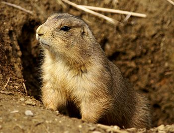 English: A black-tailed prairie dog at the Nat...
