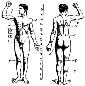 English: Anatomy - features of the Muscular sy...