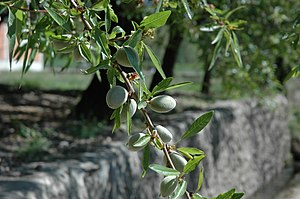 Almonds growing on a tree