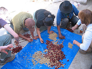 Sorting and pulping coffee beans at a fair tra...