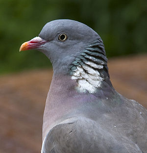 An adult Common Wood Pigeon in Quinton, Birmin...