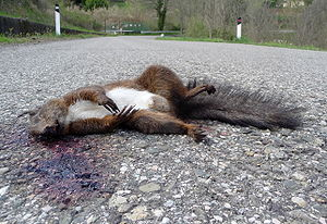 English: Dead squirrel (Sciurus vulgaris), Tus...