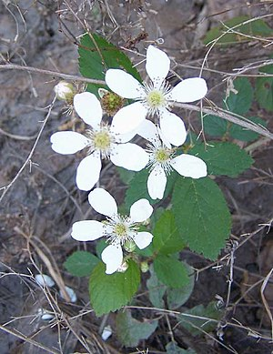 Dewberry flowers. Note the multiple pistils, e...