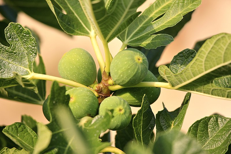 File:Fig Tree (5967272441).jpg