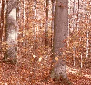 American Beech forest at Hoot Woods, Indiana; ...