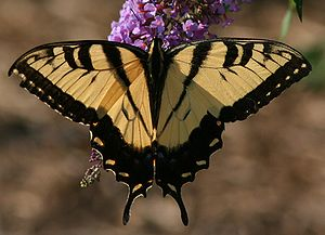 English: Male Eastern Tiger Swallowtail (Papil...