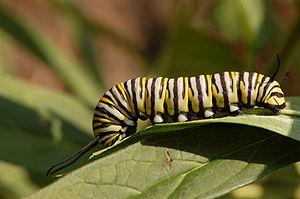 A Monarch butterfly (Danaus plexippus) caterpi...