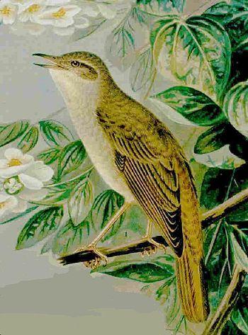 Nightingale Luscinia megarhynchos