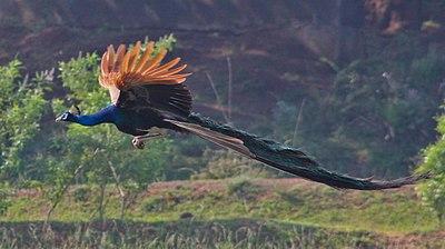 Resultado de imagem para pavão voando