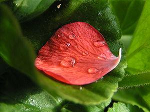 Petal of a pelargonium - taken in the evening ...