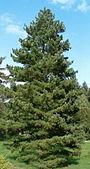 Pinus peuce Habitus BotGardBln0906.jpg