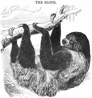 English: Two-toed sloth