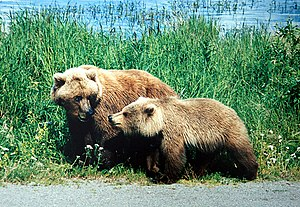 A mother grizzly with a cub