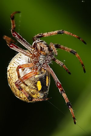 An orb weaver producing silk from its spinnerets