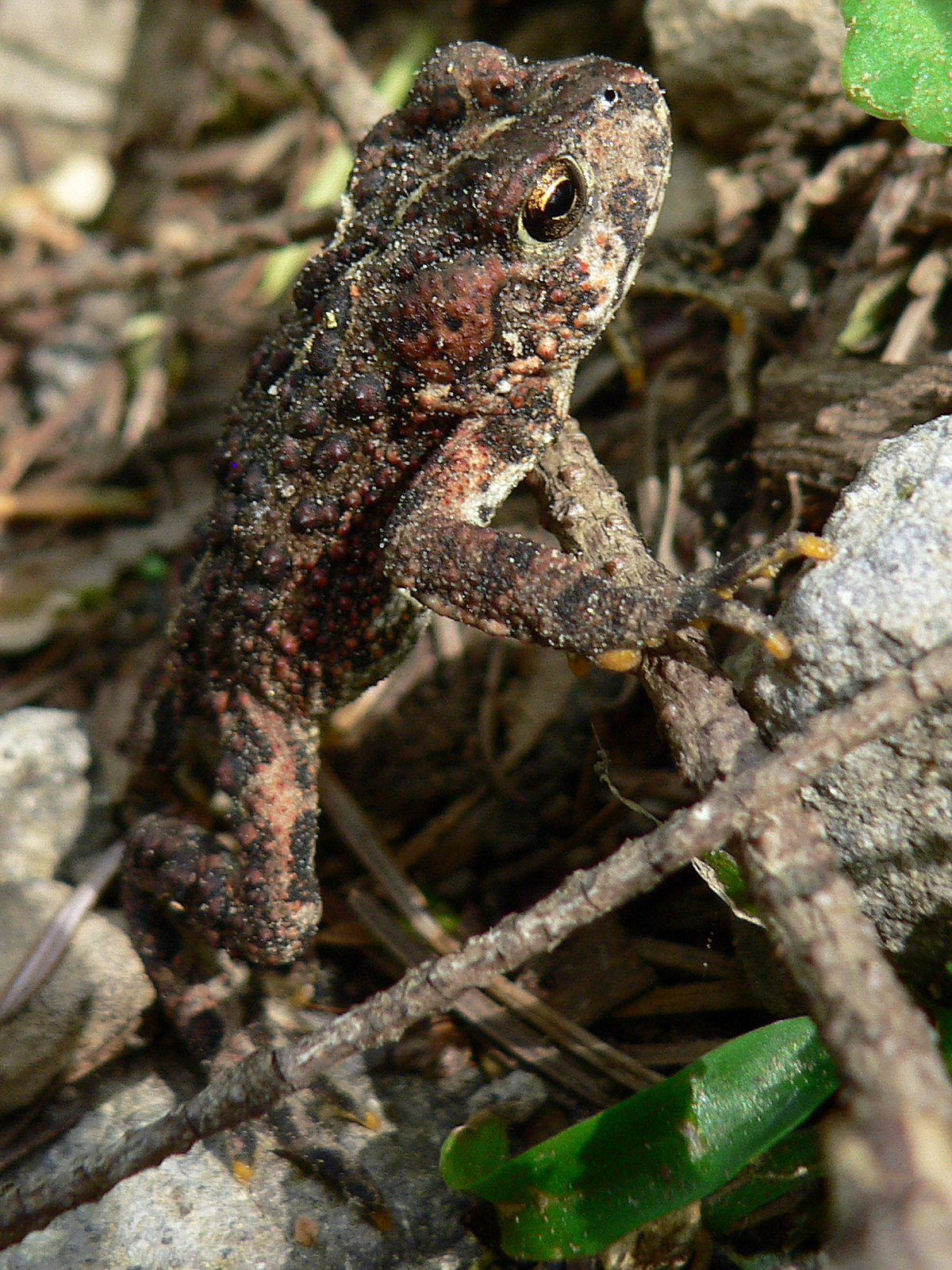 List Of Amphibians And Reptiles Of Montana