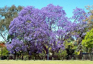 A large Jacaranda tree in full bloom.