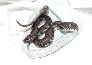 English: A wolf snake, Lycophidion capense