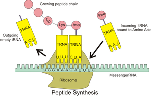 English: Illustration of tRNA building peptide...