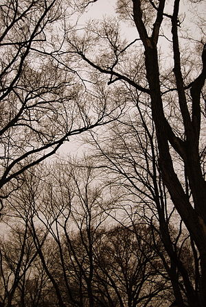 English: Winter time bare trees