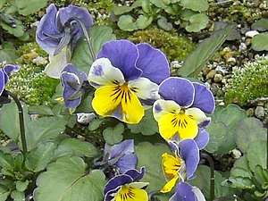 Pansies showing typical facial markings