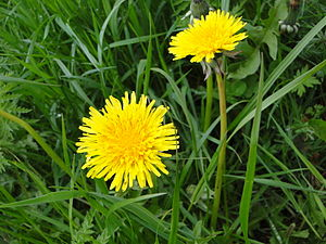 English: Two dandelions in a grass field in Ge...