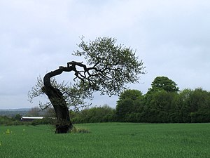 English: Tree near Chilton Taken from the new ...