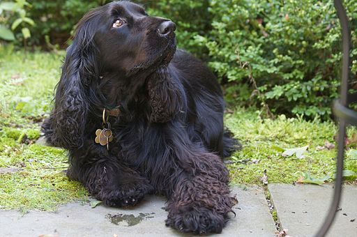 Black Field Spaniel royal doggie treat storm