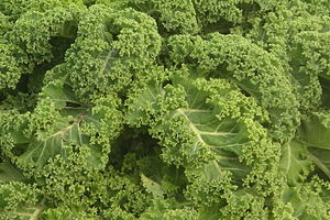 Kale close up in Norddeich, Dithmarschen
