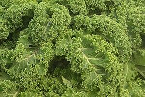 Kale close up in Norddeich, Dithmarschen