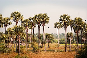 Palm Trees in Tamil Nadu