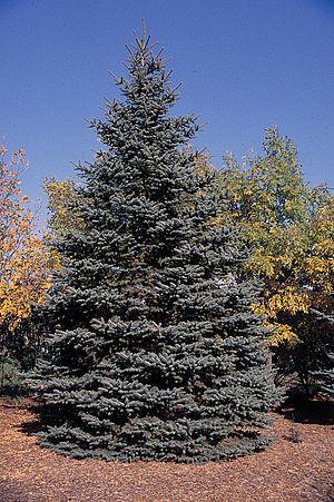 Blue Spruce. Tree.