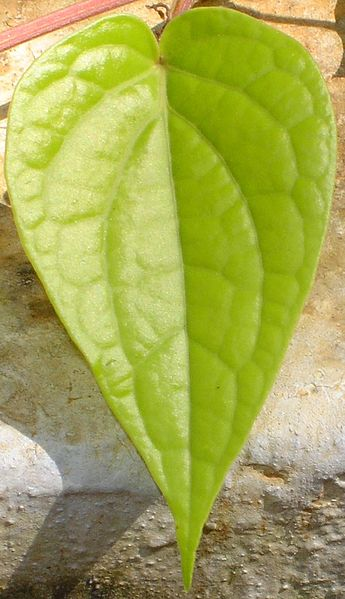 Berkas:Piper betle leaf.jpg