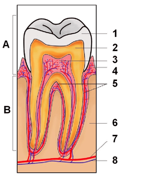 Tooth section international