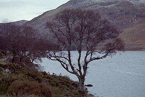 English: Tree and Loch Glass