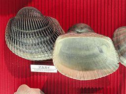 Anadara broughtonii - Osaka Museum of Natural History - DSC07791