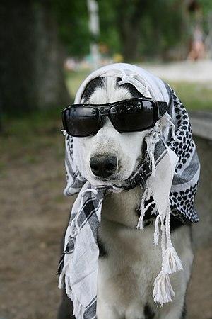 Description: A Sibirian-Husky (Canis lupus fam...
