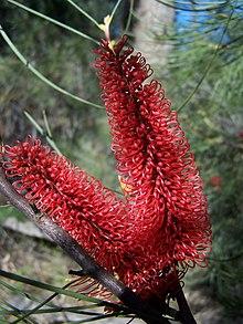 Hakea Bucculenta Wikipedia