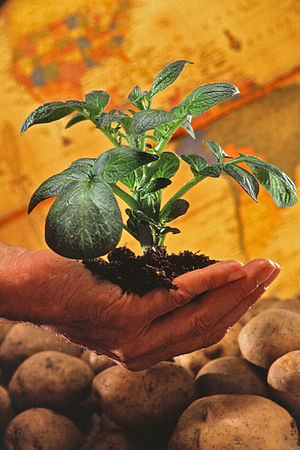 Potato plant. To ensure continuing worldwide a...