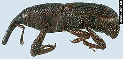 http://ms.wikipedia.org/wiki/Kutu_beras