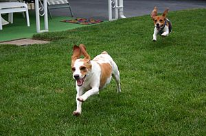 Two running beagles Comment of Flickr : If you...