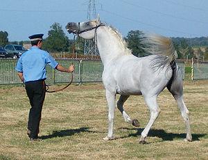 Purebred Arabian stallion.
