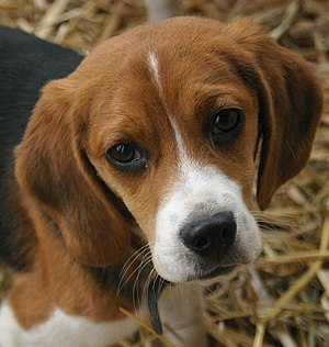 A portrait of a Beagle puppy.