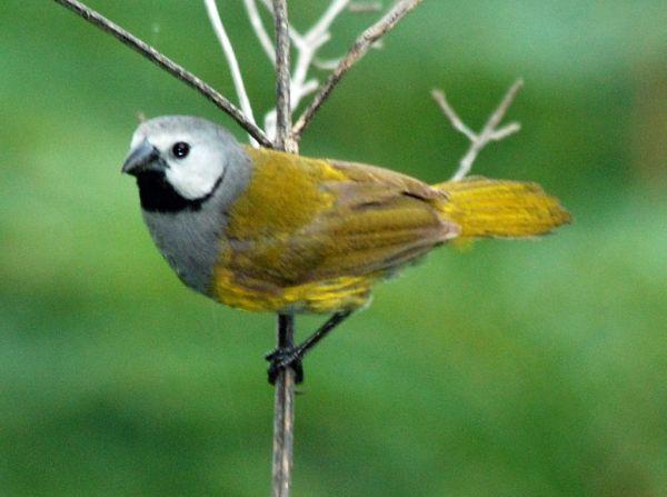 Fichier:Grey-headed Oliveback, Poli, Cameroon (5891711500 ...