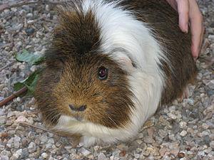 English: Guinea pig
