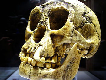 English: Homo floresiensis, replica Deutsch: H...